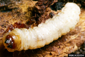 (B) larva, which bore into the base of peach trees. Clemson University – USDA Cooperative Extension Slide Series