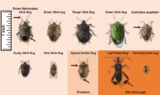 Common stink bugs and look-a-likes found in Southeastern fruit orchards. All these bugs, except the spined soldier bug, have the potential to feed on and distort peach fruit. Brett Blaauw, PhD, Department of Entomology, University of Georgia and Dept. of Agricultural and Environmental Sciences, Clemson University.
