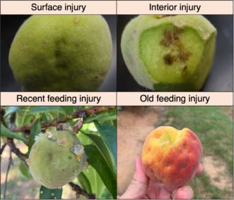 Examples of catfacing due to piercing-sucking insect damage to peaches at different stages of development. Brett Blaauw, PhD, Department of Entomology, University of Georgia and Dept. of Agricultural and Environmental Sciences, Clemson University