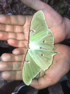Luna moths commonly lose hindwing tails when attacked by a predator.