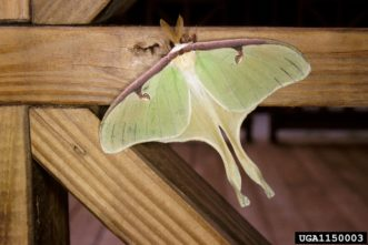 Luna moths are one of the silkworm moths. The male Luna moth has feathery antennae. Female Luna moth antennae are slender and fuzzy when compared to male antennae.