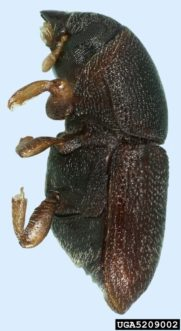 The shothole borer (Scolytus rugulosus) attacks the trunk and main limbs. The adults are 1/10 inch long (Natasha Wright, Cook's Pest Control) Clemson University – USDA Cooperative Extension Slide Series).