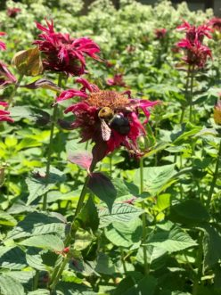 Bee Balm is a perennial plant that attracts our native pollinators with its showy colors that come out July to September. Karen Jackson, ©2020, Clemson Extension