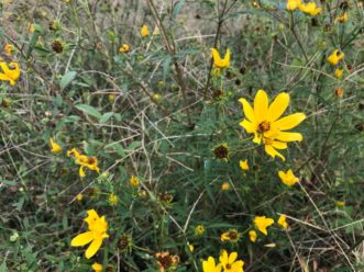Swamp Sunflower can reach heights of up to 8 feet! It can be used in a number of stormwater Best Management Practices (BMPs) including swales, shoreline buffers, and rain gardens. Karen Jackson