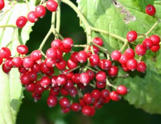 The bright red fruit of Linden Viburnum (Viburnum dilatatum) hang in large clusters all over the shrub in October. Another bonus is that many species of birds enjoy the colorful fruit of viburnums. Joey Williamson, ©2020 HGIC, Clemson Extension