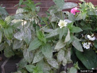 These zinnias have become infected with powdery mildew (Golovinomyces cichoracearum). Mary Ann Hansen, Virginia Polytechnic Institute & State University, Bugwood.org