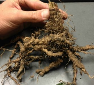Galled tomato roots caused by root-knot nematodes (Meloidogyne species). Zachary Boone Snipes, ©2015 Clemson Extension