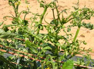 Distortion of tomato stems and foliage due to exposure to spray drift of 2,4-D herbicide. Joey Williamson, ©2014 HGIC, Clemson Extension
