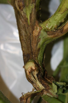 As the bacterial infection progresses, more of the main stem turns brown and dies. This cuts the water supply off to the plant parts above, which wilt. Joey Williamson, © 2018 HGIC, Clemson Extension