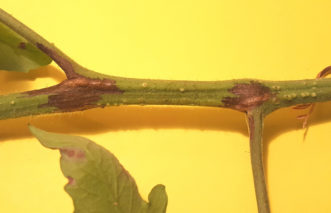 With tomato pith necrosis, brown (necrotic) areas on stems often begin where leaves attach and spread down the adjacent leaf petiole. Joey Williamson, ©2018 HGIC, Clemson Extension
