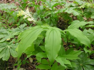 Eastern Solomon's–plume (Maianthemum racemosum) is a closely related woodland perennial, but the flowers are produced in clusters at the ends of their arching stems. It is also native to South Carolina. Joey Williamson, ©2020 HGIC, Clemson Extension