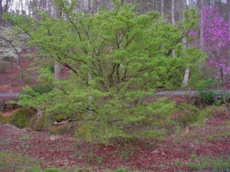 Cornus mas flowering and leafing out as the native dogwood and eastern redbuds are in bloom. Paul Thompson, ©2021, Clemson Extension