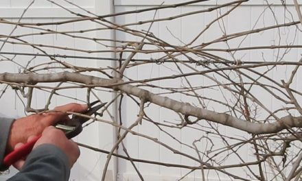 How to Prune Muscadine Grapes