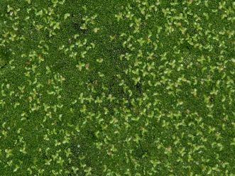 The larger leaves in this photo are duckweed. The fine, green specks between are watermeal. TJ Savereno, 2020, Clemson Extension