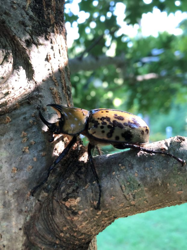 Eastern Hercules beetle on a branch. Notice the horns on the head, indicating that it's a male. David Coyle, ©2021, Clemson University.